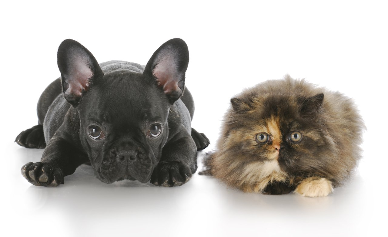 persian kitten and french bulldog puppy laying down looking at viewer with reflection